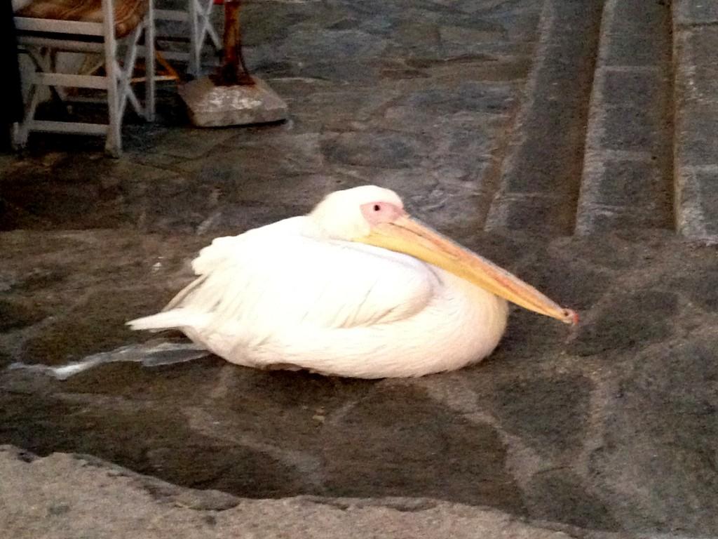Mykonos'un Simgelerinden Biri Olan Pelikan