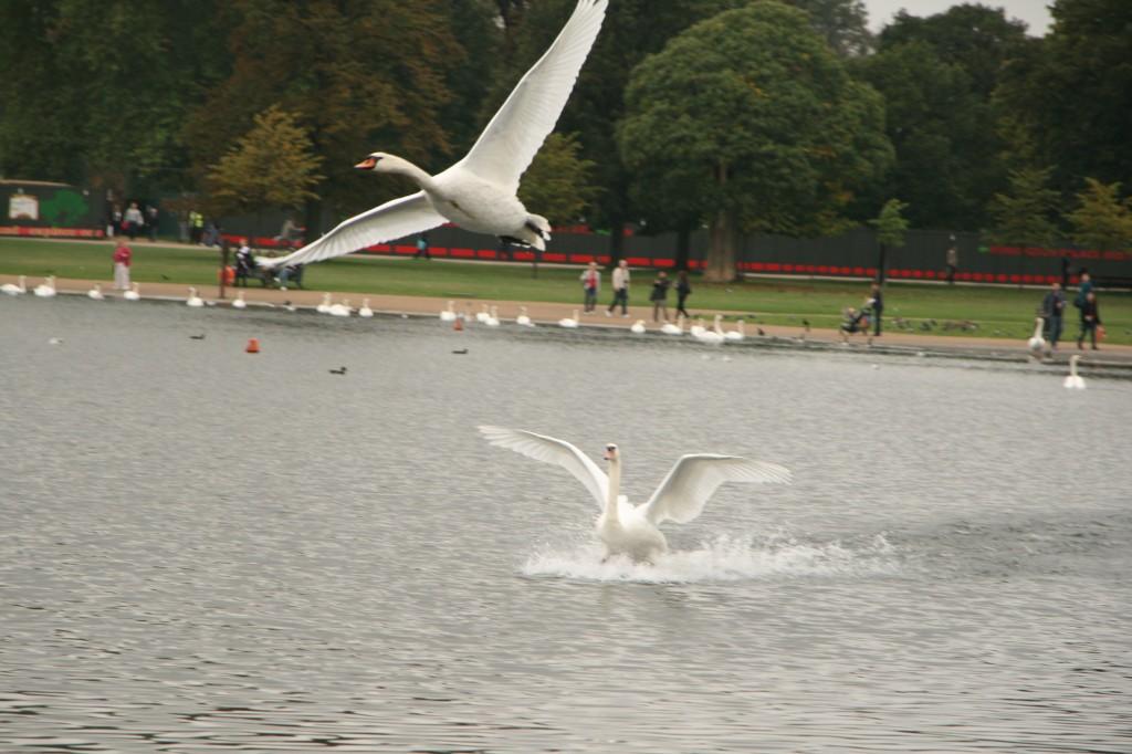 Round Pond göletindeki kuğular