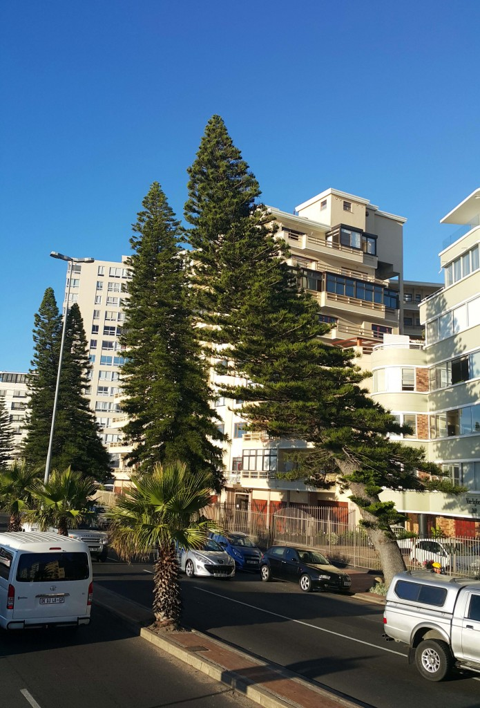 Meşhur Cape Town rüzgarlarının gücü ile eğilmiş ağaçlar...